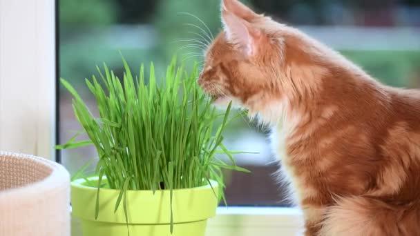 Kitten with green grass on windowsill
