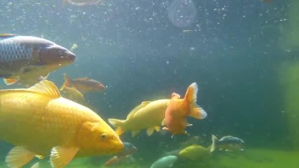 Koi ponty, víz alatt