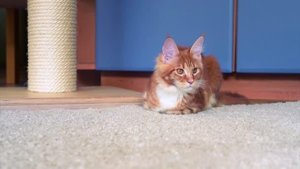 Maine Coon kitten hrát