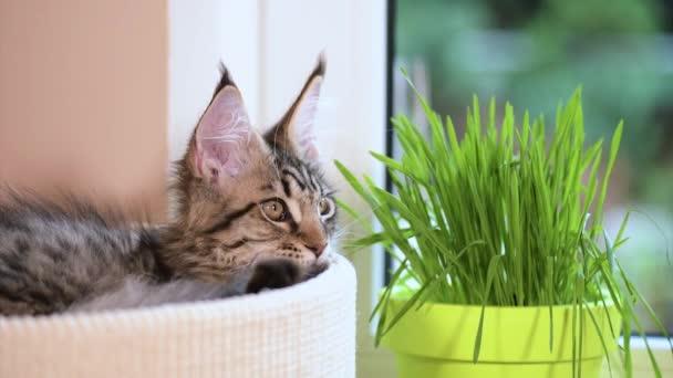 Kotě s trávou na parapetu