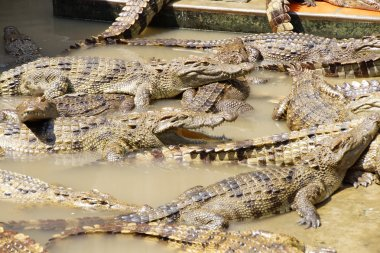 Adult crocodiles at rest