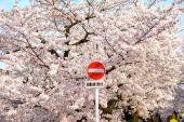 Sakura květů v Japonsku