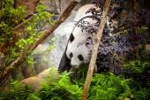 Fotografie panda Velká