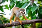 Fotografie veverka opice