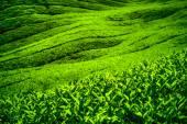 Fotografia piantagione di tè