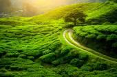 Fotografia Piantagione di tè. Paesaggio naturale