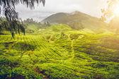 Fotografia piantagione di tè in Malesia