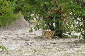 Photo Lion cub, Africa
