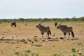 Ein Gemsbok (Oryx gazella)
