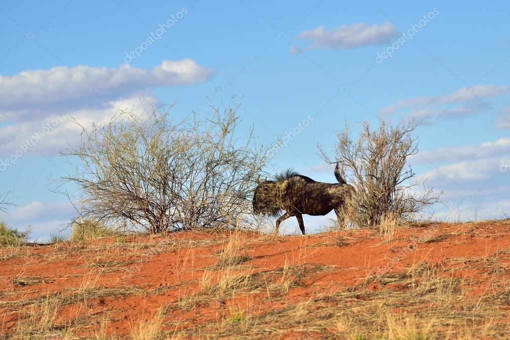 Big animal in the nature habitat, Namibia, Kalahari desert
