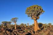 Fotografie Quiver Tree Forest Namibia