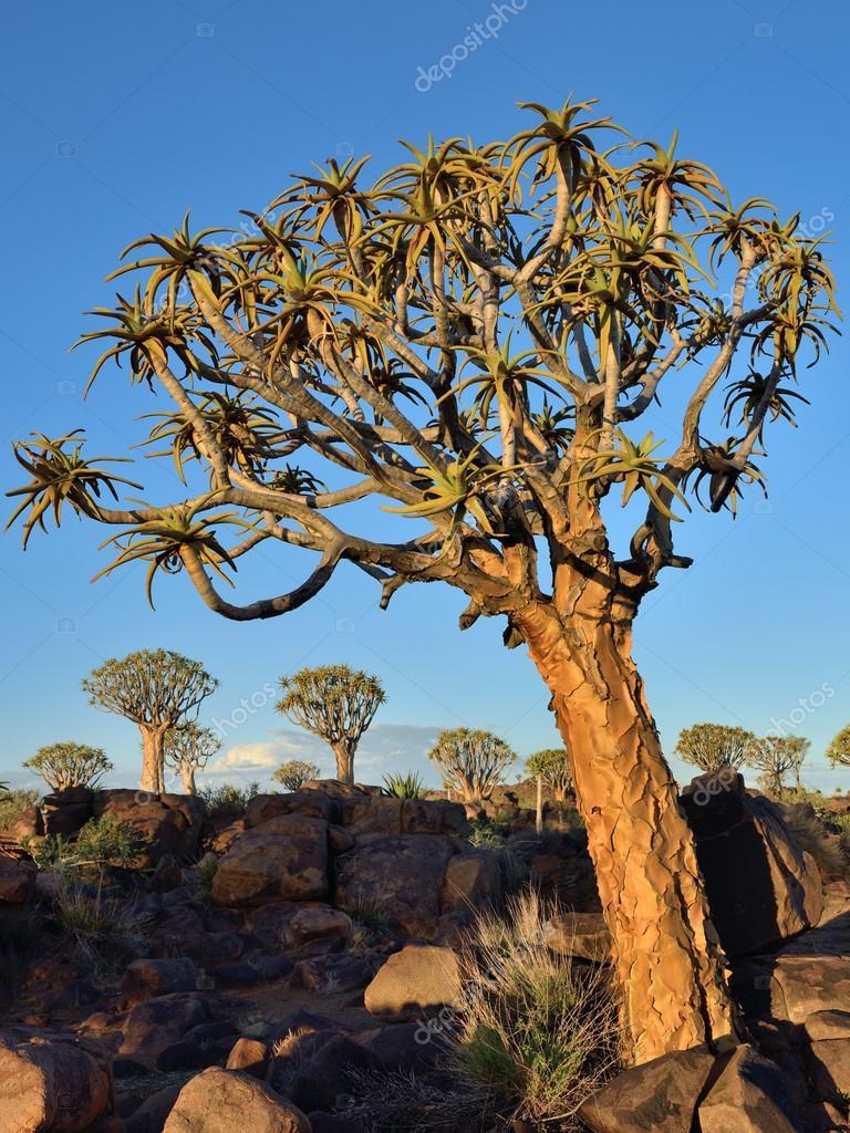 Колчан дерево лес Намибия — Стоковое фото © znm666 #107906820