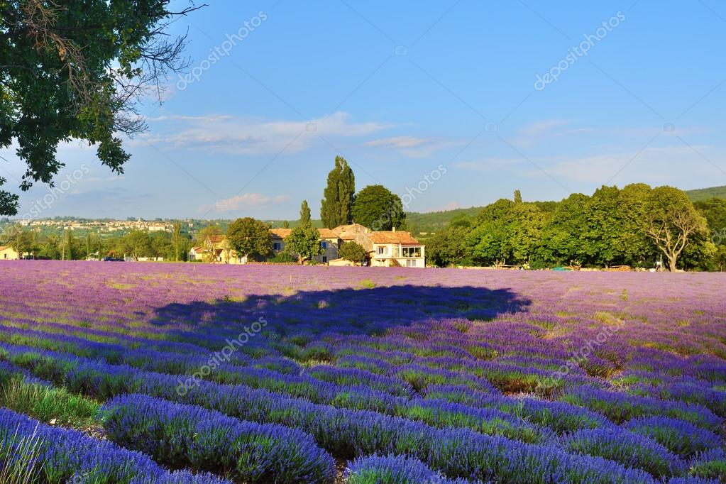 Lavender field and old farmhouse, Provence, France