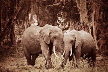 African elephant are standing embracing in the woods. Filtered image, vintage effect applied. Sepia and grunge stock vector