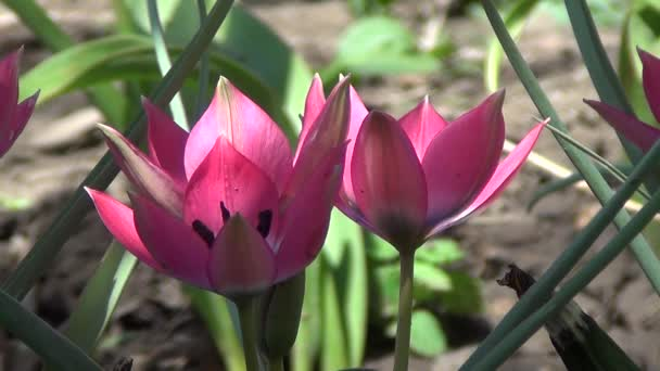 Blossoming of Tulips