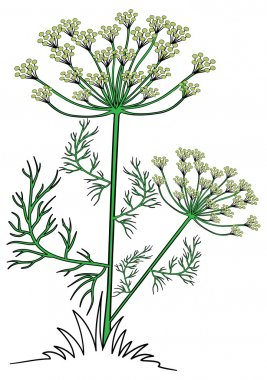 Illustration of dill plant