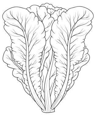 Sketch illustration of Lettuce
