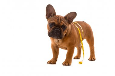 French Bulldog puppy on diet