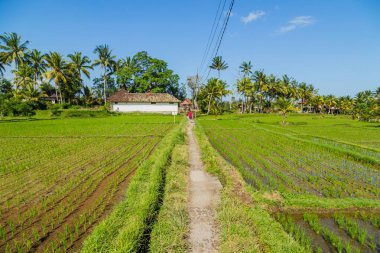 View of rice fields detail in Bali, Indonesia, Asia