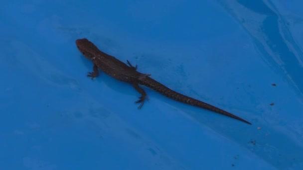 ještěrka, procházení na modrém povrchu