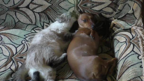 Thajská kočka olizuje pes míra