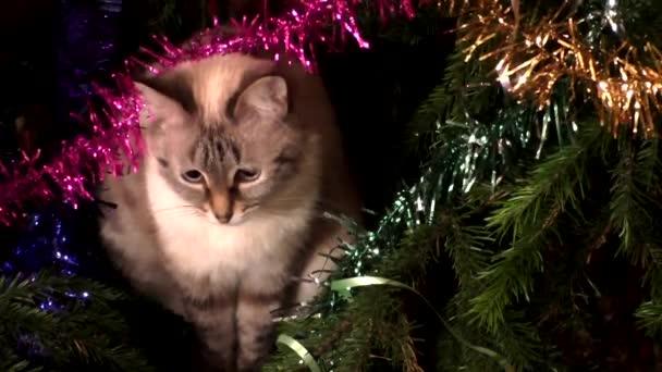 A Thai macska ül a karácsonyfa alatt
