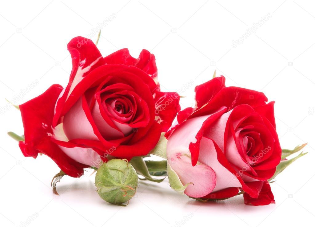Flores Rosas Rojas Fotos De Stock Natika 58276923