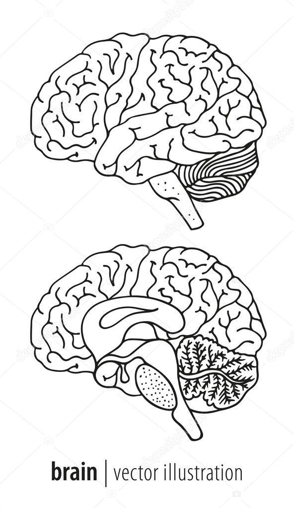 Ilustración del cerebro humano, sección media — Vector de stock ...