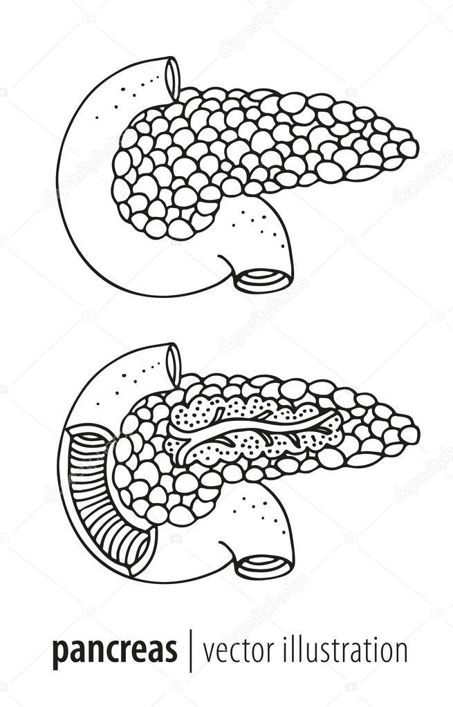 Menschlichen Pankreas Anatomie Abschnitt Vektor-illustration ...