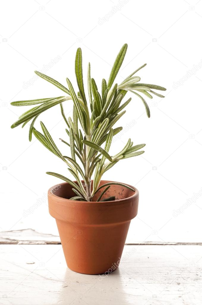 Fresh rosemary in a clay pot on white background.