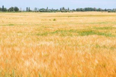 "Картина, постер, плакат, фотообои ""золотое пшеничное поле летом визитки"", артикул 465645332"