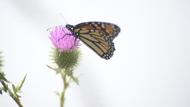 butterly feeding on thistle, side view