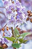 Fotografie Paulownia Fortunei Flowers