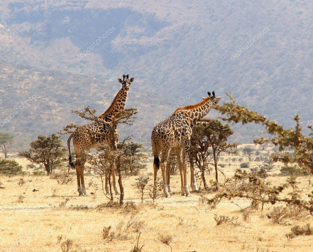 group of giraffe eating from a tree in a gorgeous landscape