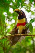 Photo Colorful tucan in the wild
