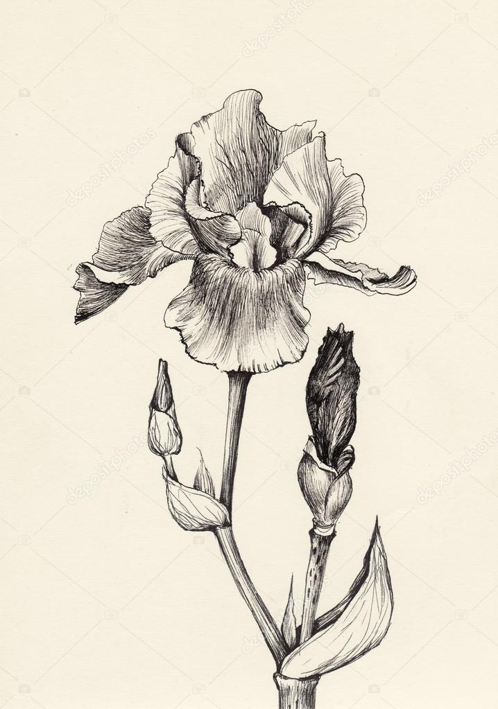 Iris flower pen and ink drawing