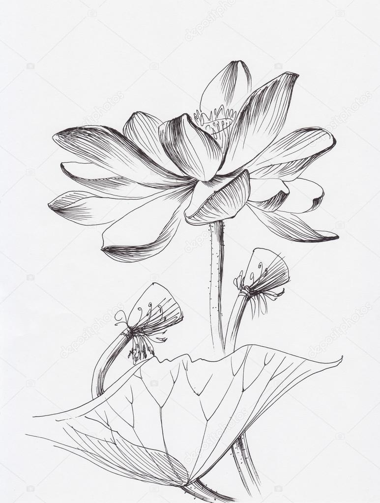 Lotus flower line art