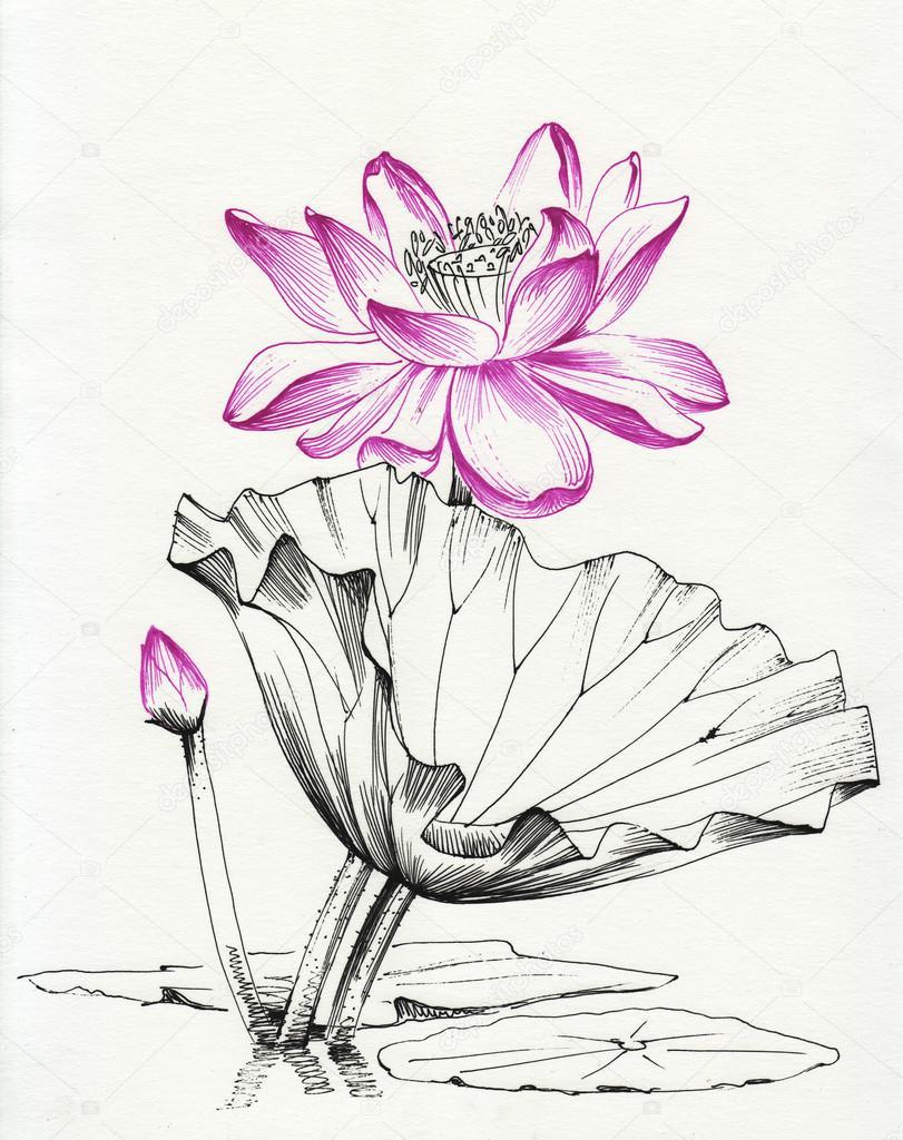 Dessin Au Trait Fleur Lotus Photographie Surovtseva C 87125524
