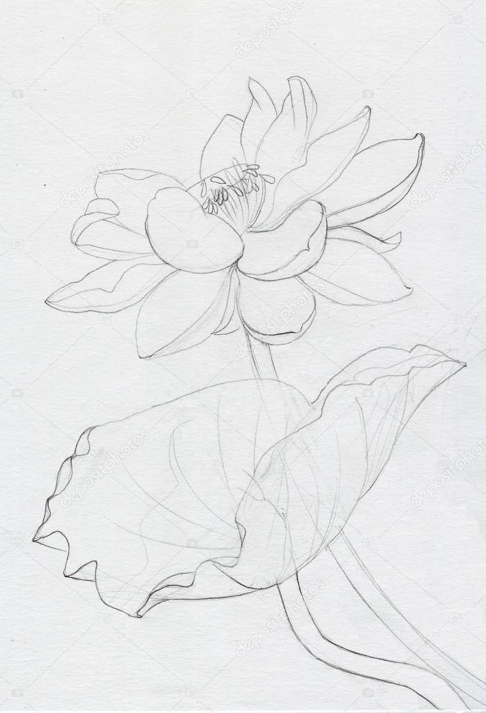 Dessin Au Trait Fleur Lotus Photographie Surovtseva C 87125532