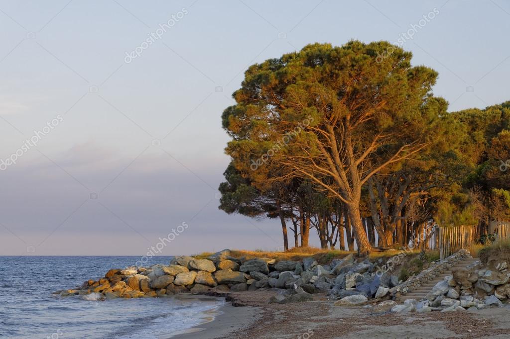 Pinus pinea f888b83e1d4