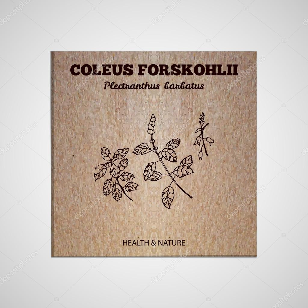 Herbs and Spices Collection - Coleus forskohlii
