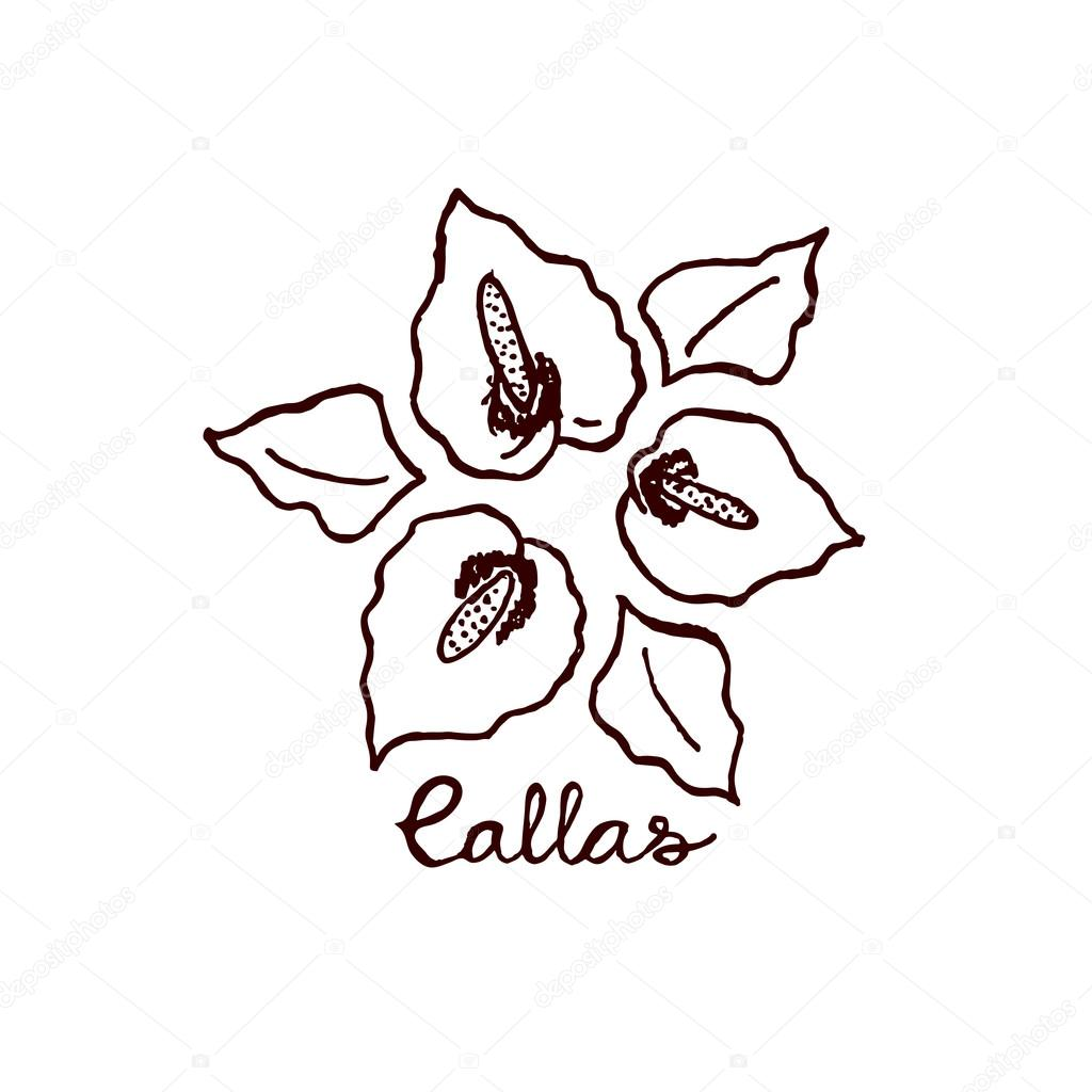 Handsketched bouquet of callas