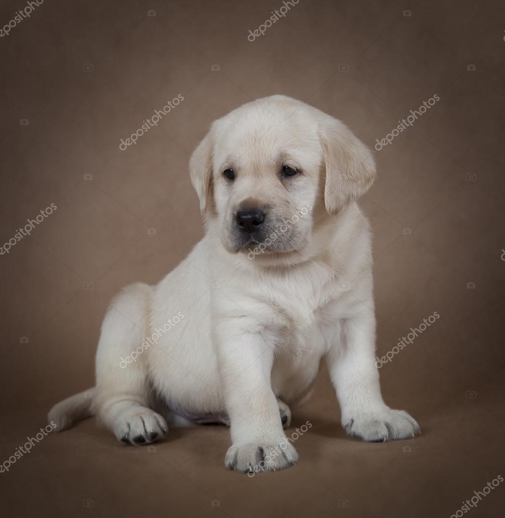 Purebred Labrador Puppy Stock Photo Alkirdep 111177446