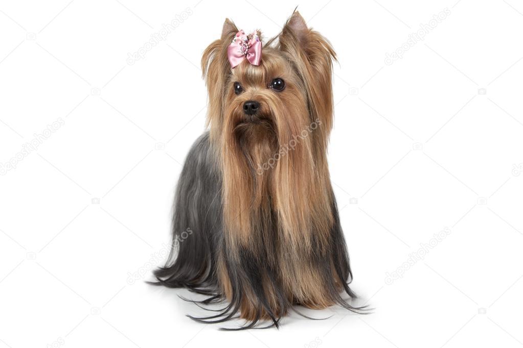 Reinrassige Yorkshire Terrier Hund Stockfoto Alkirdep 113270486