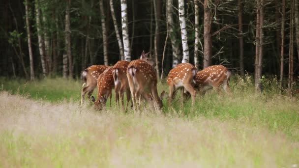 Stádo pastvy strakaté jelen