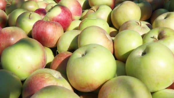 Freshly picked apples lying in a large wooden box in farm orchard on autumn sunny day