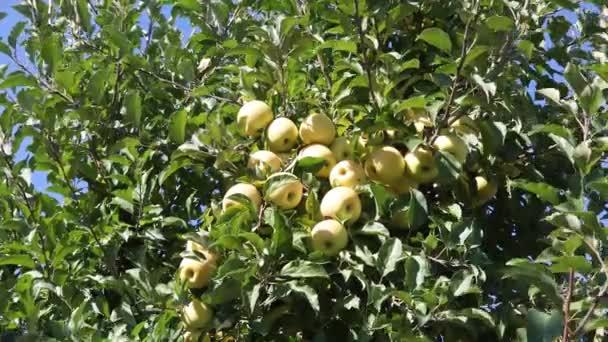 Zralá jablka visící na stromě za slunečného dne