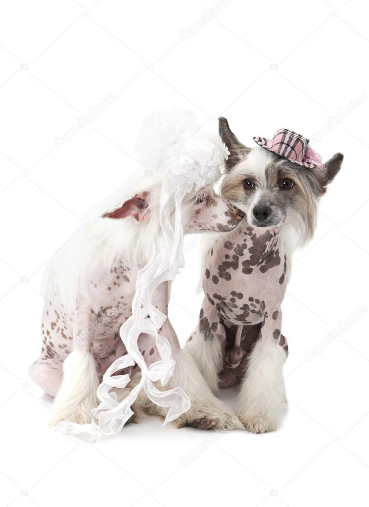 Hairless Chinese Crested dogs dressed in wedding attire — Stock ...