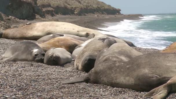 Seal rookery a tengerparton. A Dél-Argentína