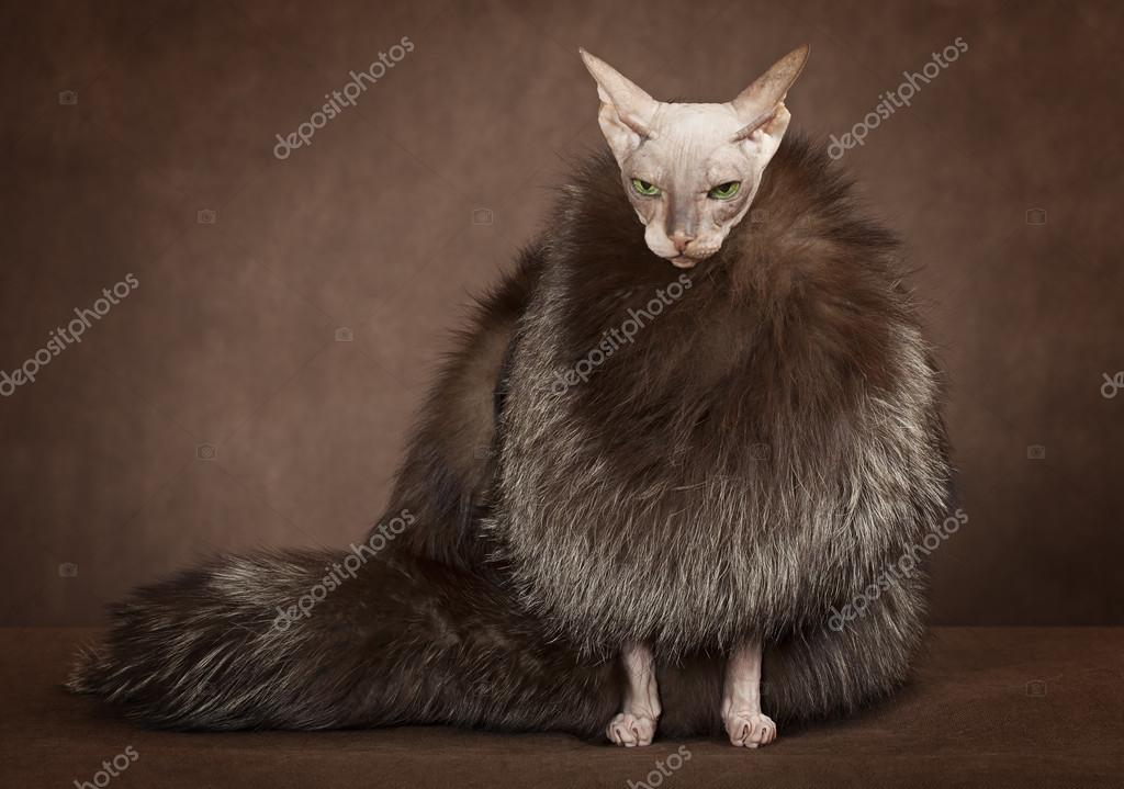Sphinx cat wearing a coat with fur